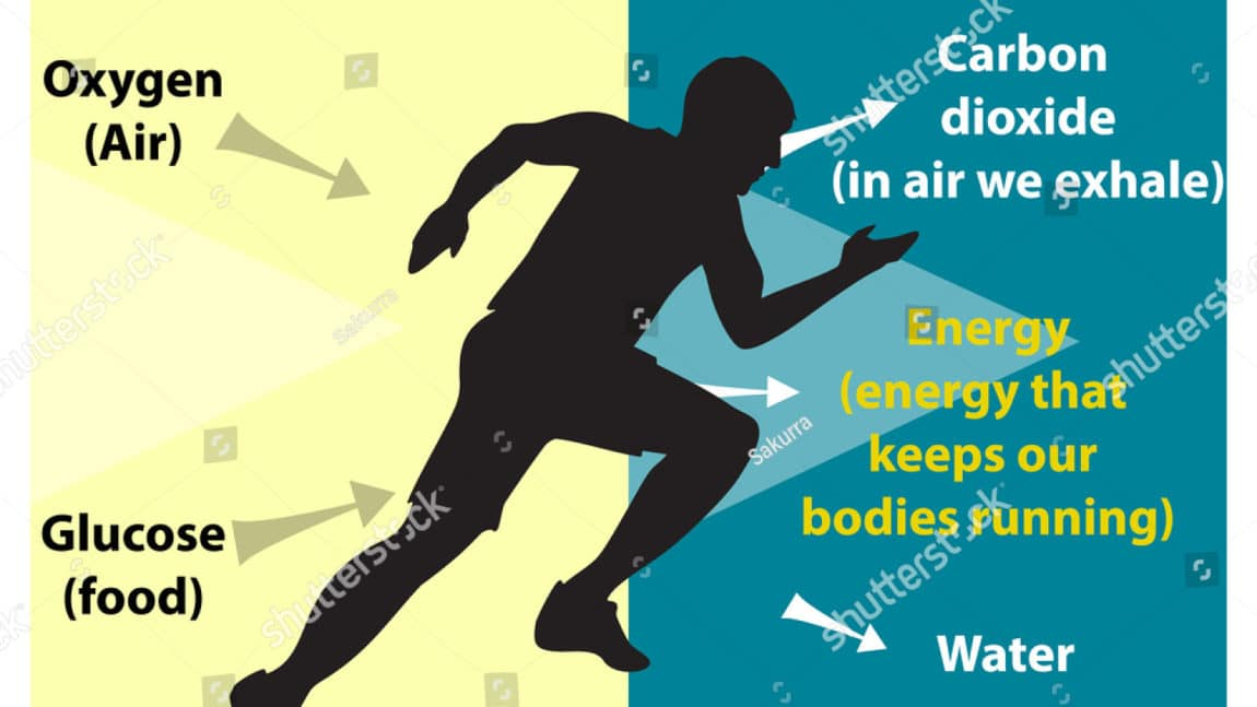 Respiration – The Effects of Exercise