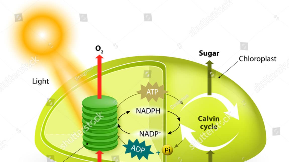 Photosynthesis produces starch